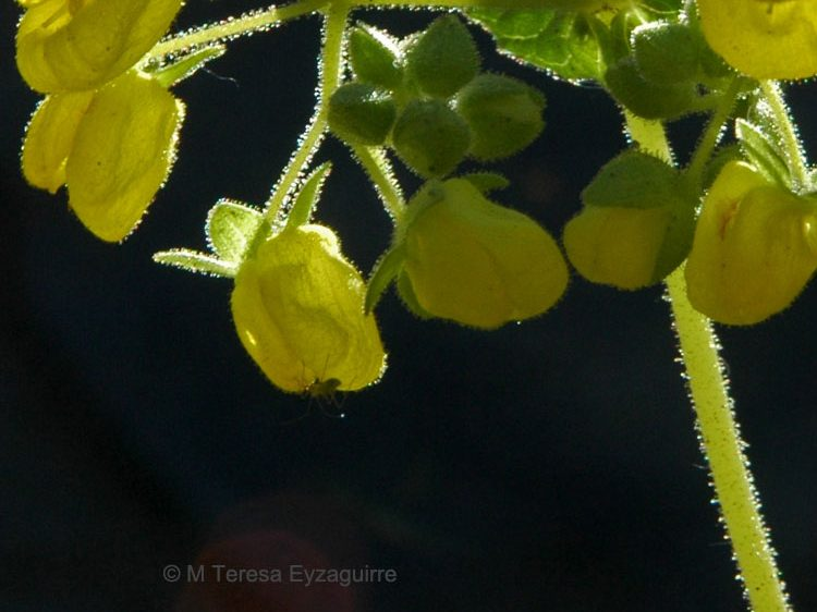 Calceolaria petioalaris