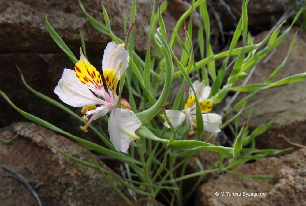 Flor y hojas. Norte de Taltal, II rewgión