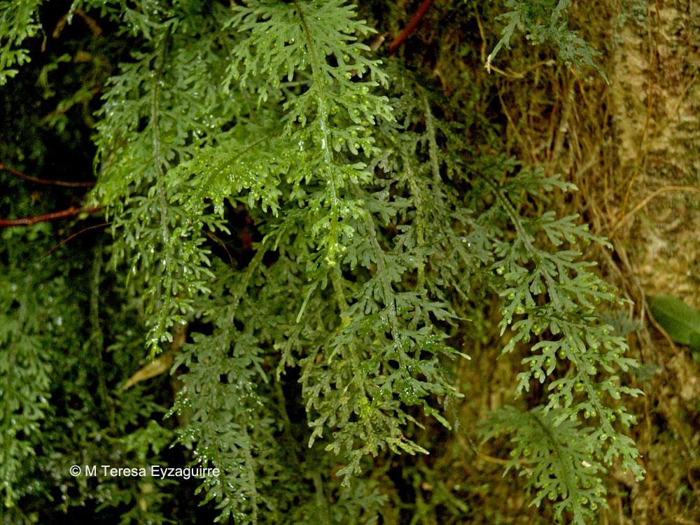 Hymenophyllum caudiculatum var. productum