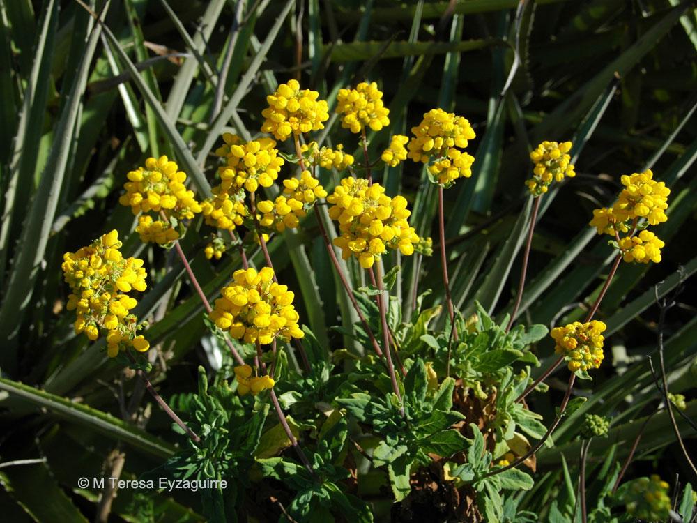 Calceolaria integrifolia s. str.