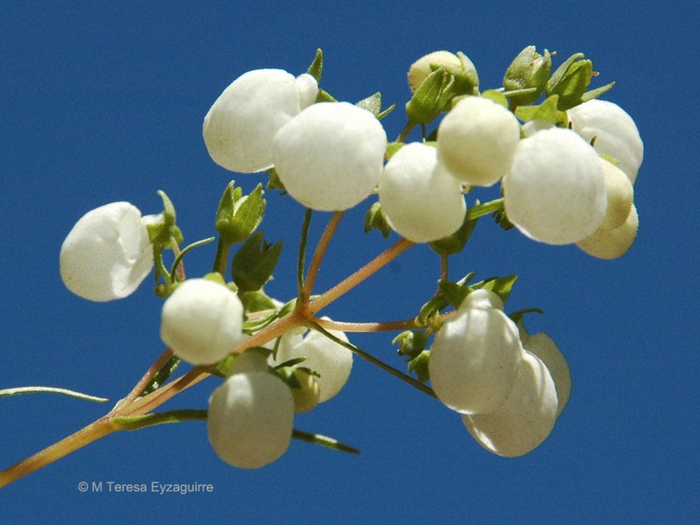 Calceolaria alba