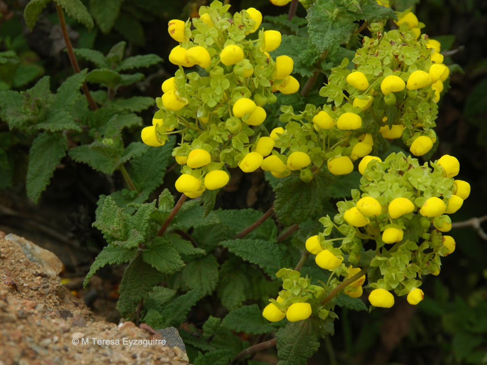Calceolaria collina ssp subincisa