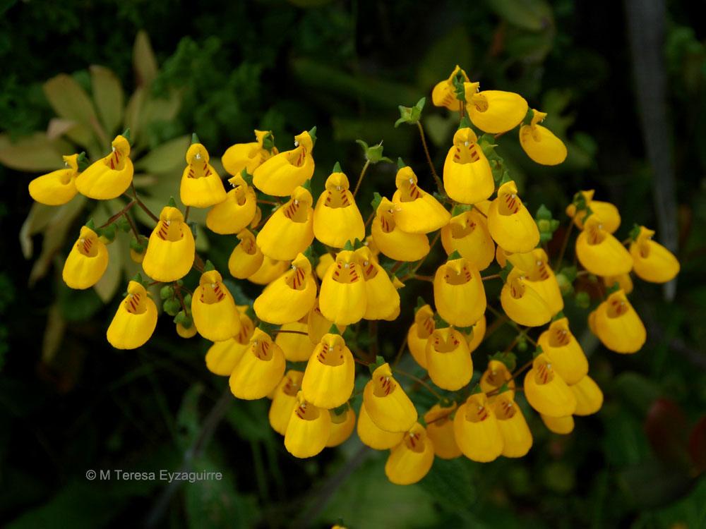 Calceolaria corymbosa ssp. corymbosa