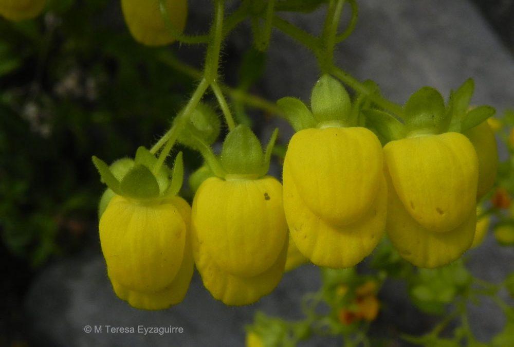 Flores. PN Radal 7 Tazas, VII región