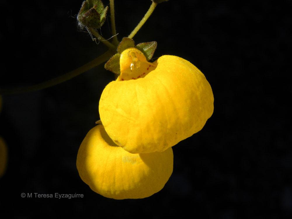 Calceolaria filicaulis ssp. luxurians
