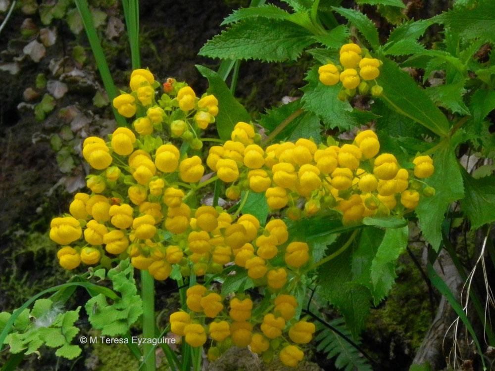 Calceolaria meyeniana ssp glabrata
