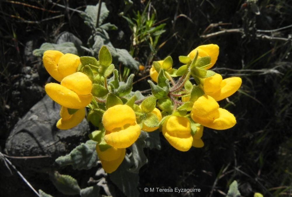 Flores, Las Corrientes, IX región