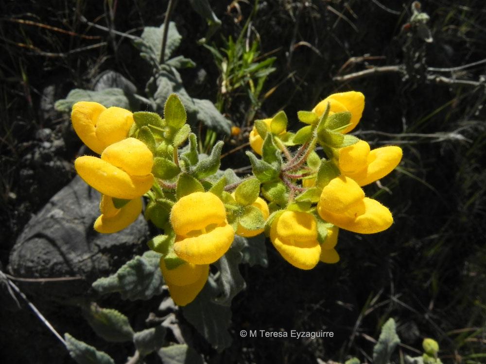 Calceolaria talcana