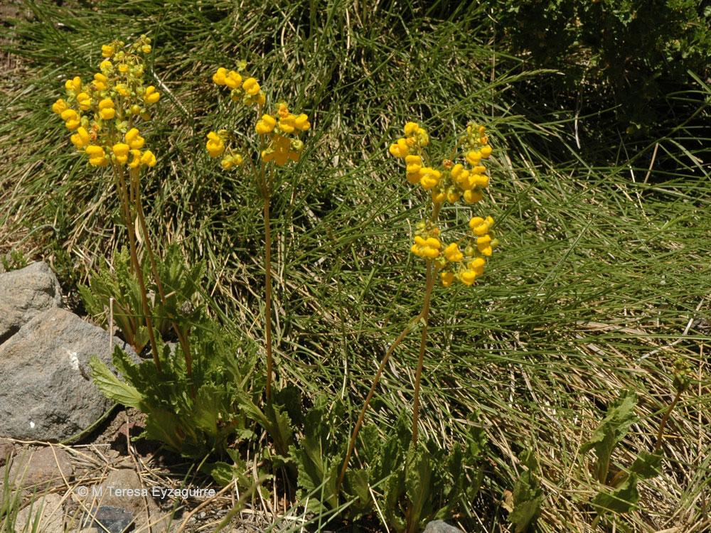 Calceolaria cavanillesii