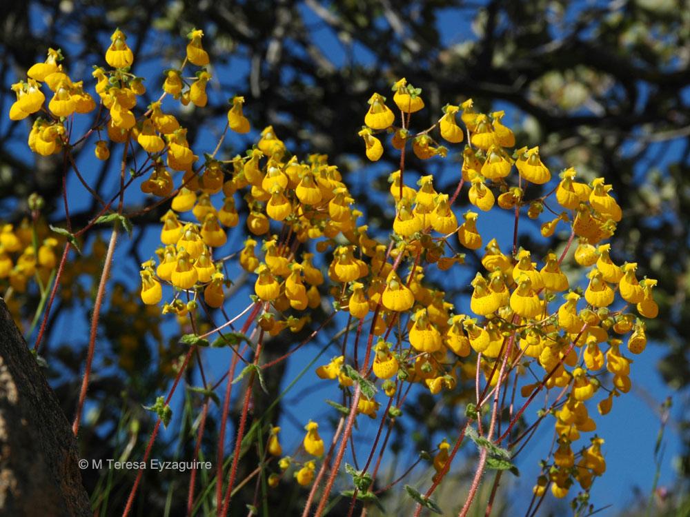 Calceolaria corymbosa ssp. santiagina