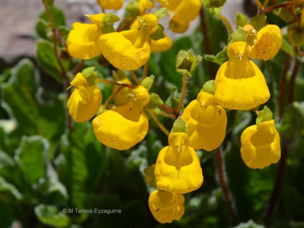 Calceolaria corymbosa ssp montana