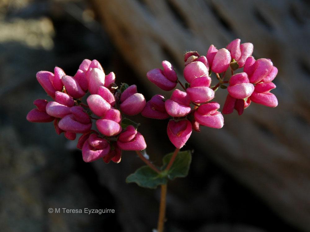 Calceolaria glandulosa ssp alicahuensis