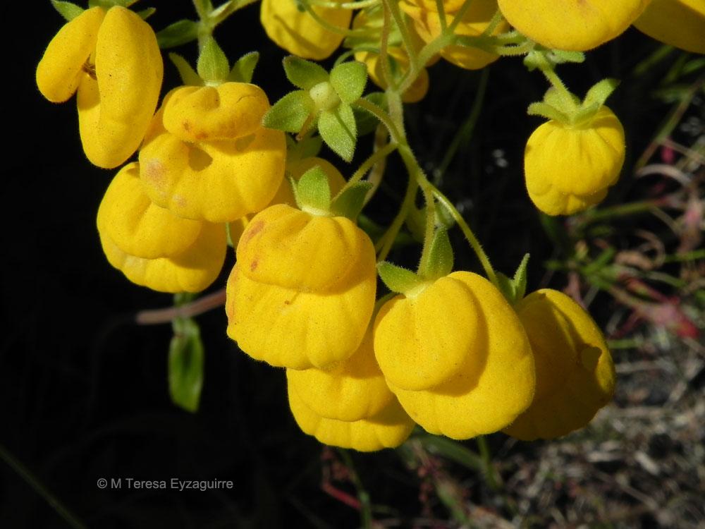 Calceolaria dentata ssp araucana