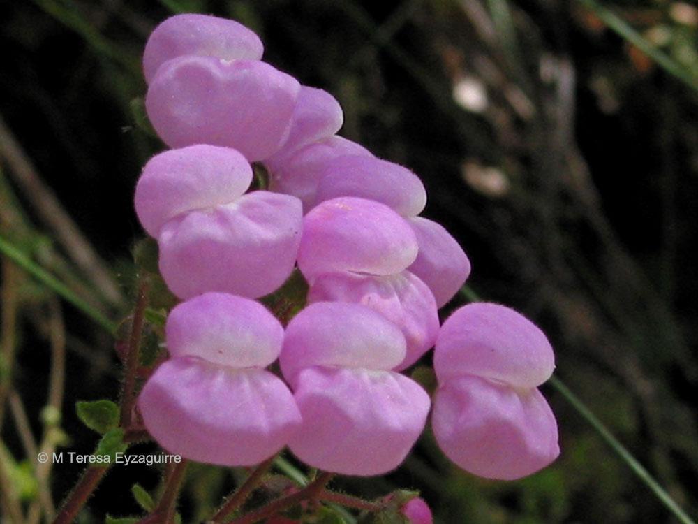 Calceolaria lanigera