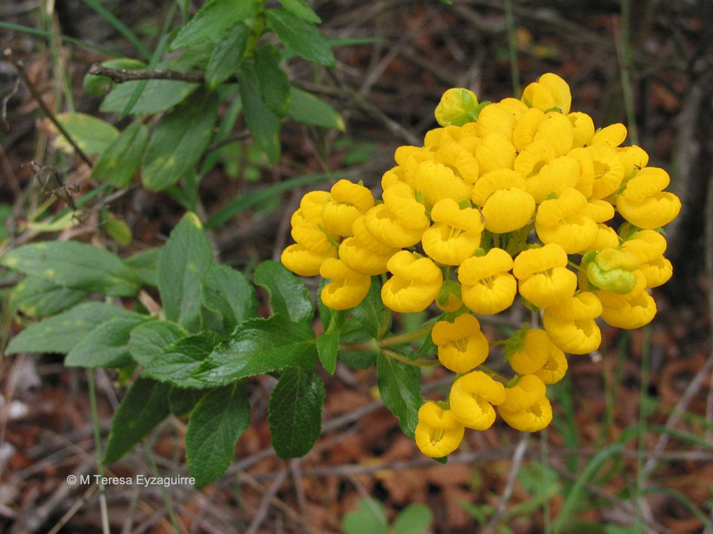Calceolaria meyeniana ssp meyeniana