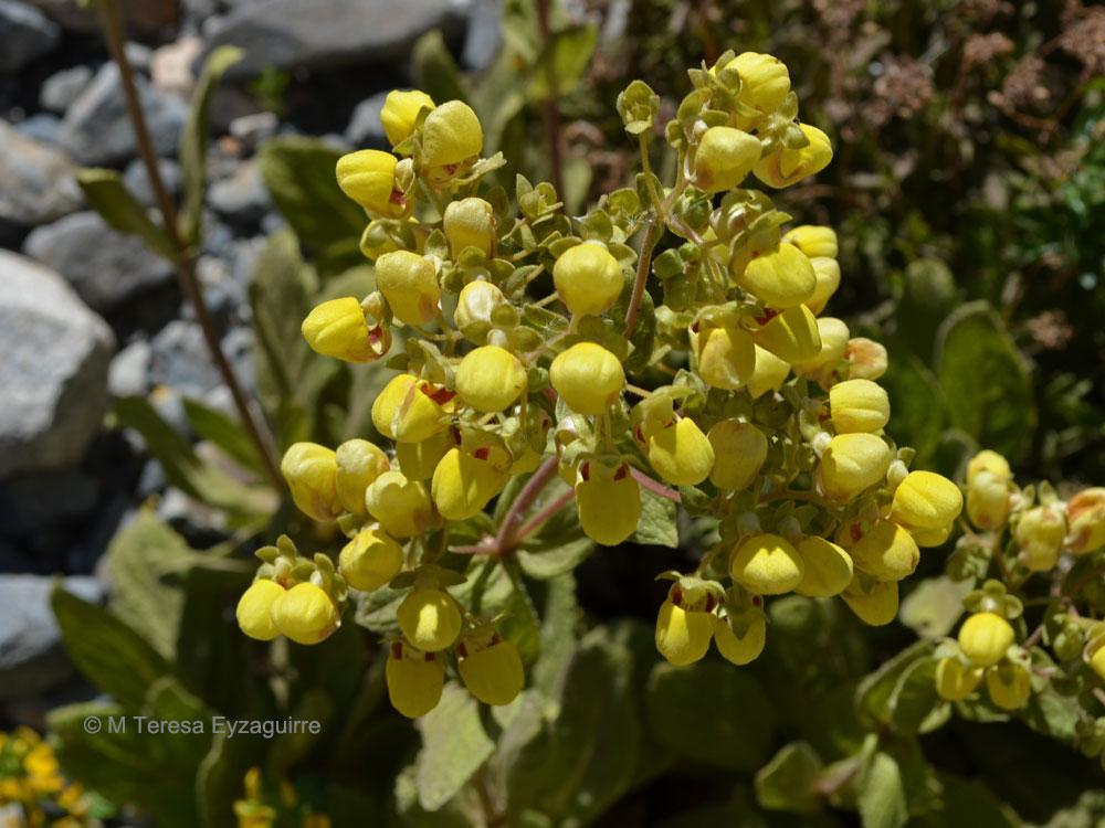 Calceolaria paralia