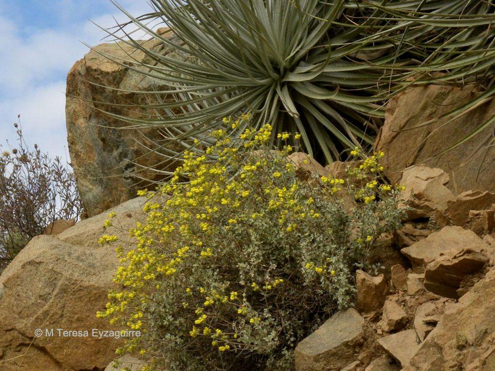 Calceolaria polifolia