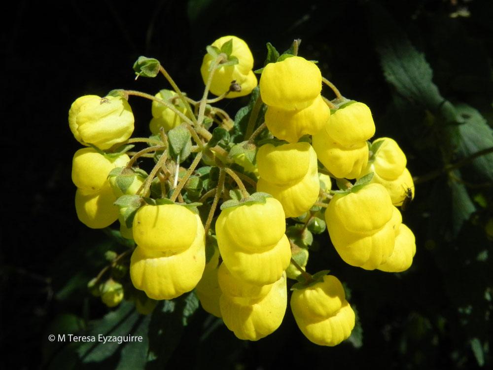 Calceolaria rubiginosa