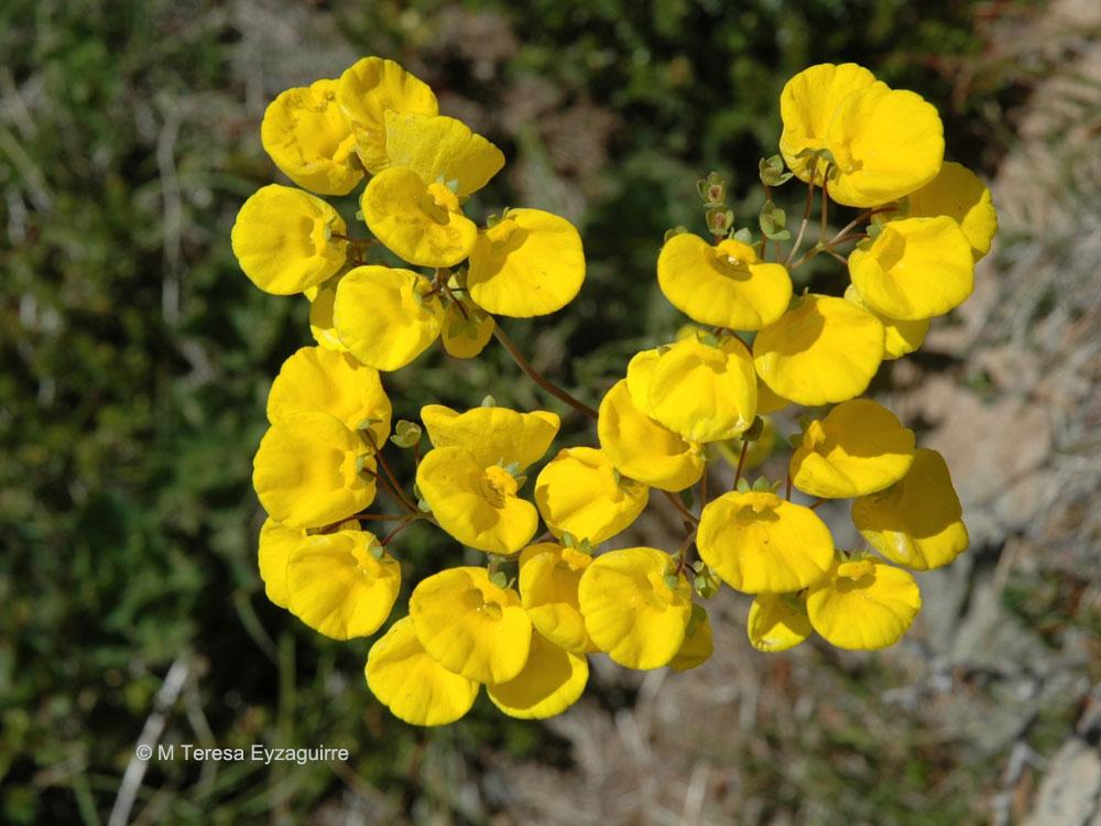 Calceolaria undulata