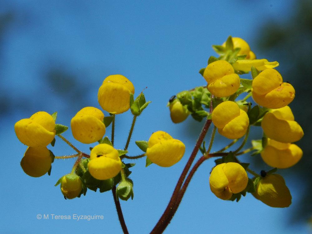Calceolaria verbascifolia