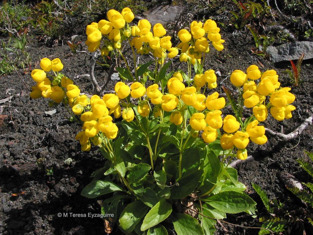 Calceolaria volckmannii