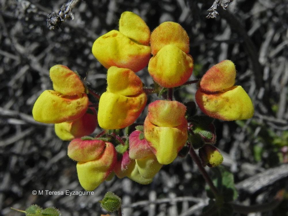 Calceolaria glandulosa ssp. glandulosa