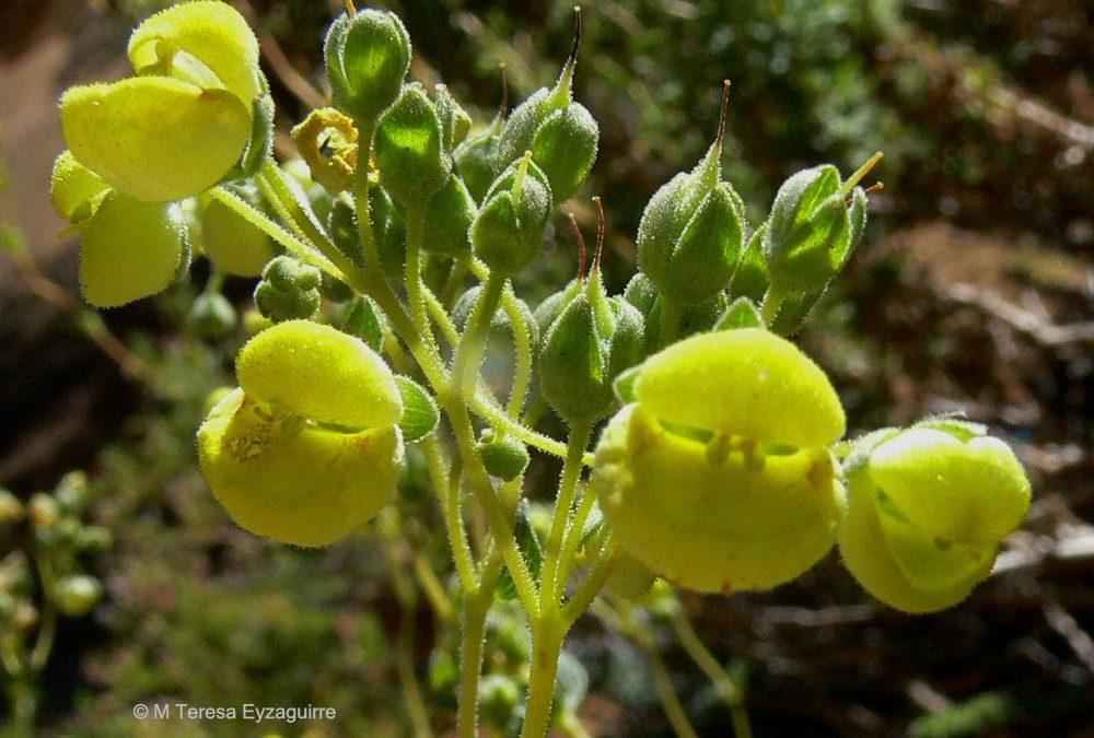 Flores. Pedernales, V región