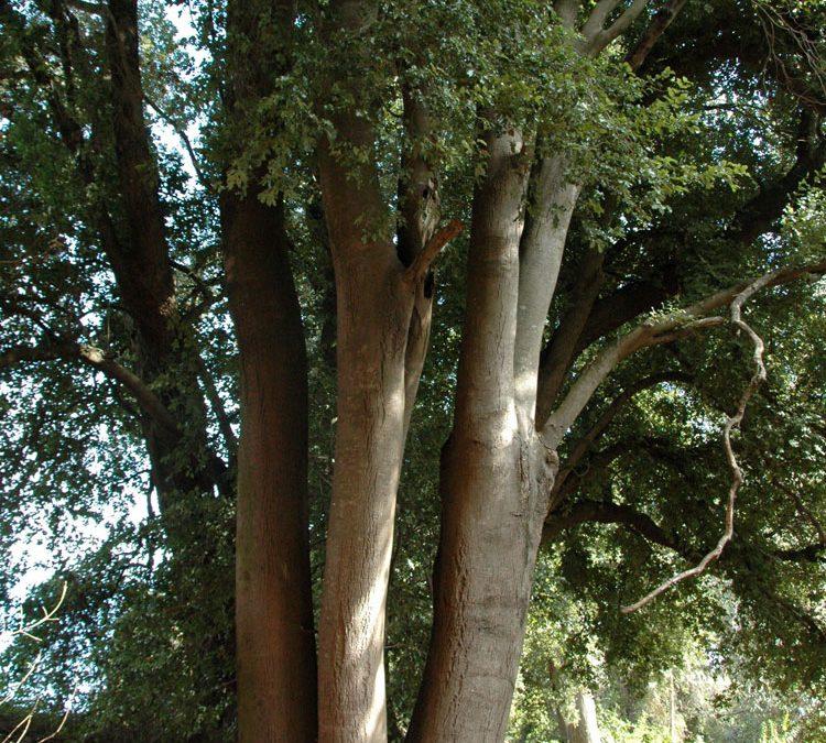 Ejemplar característico, con varios troncos