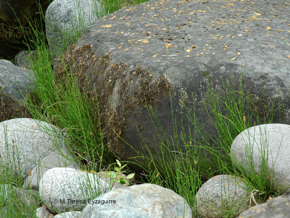 Equisetum bogotense