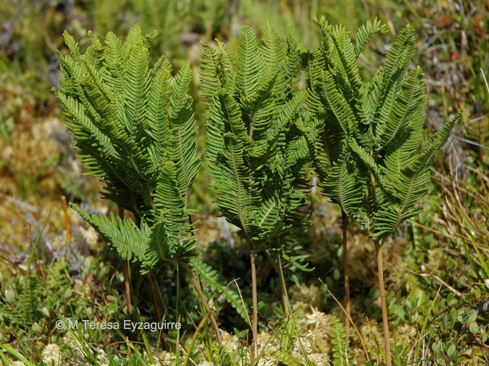 Sticherus cryptocarpus