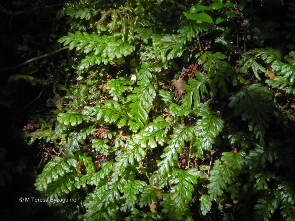 Hymenophyllum dicranotrichum