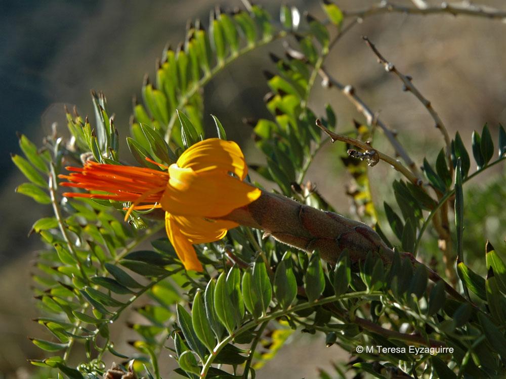 Mutisia acuminata var. hirsuta