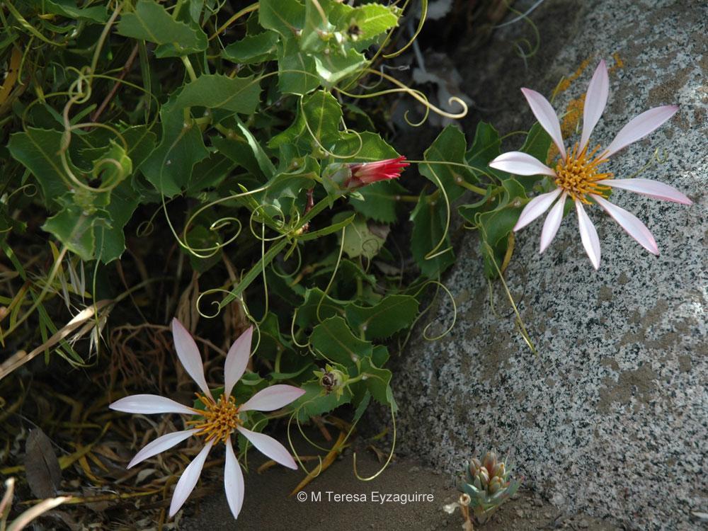 Mutisia ilicifolia var. decandolleana