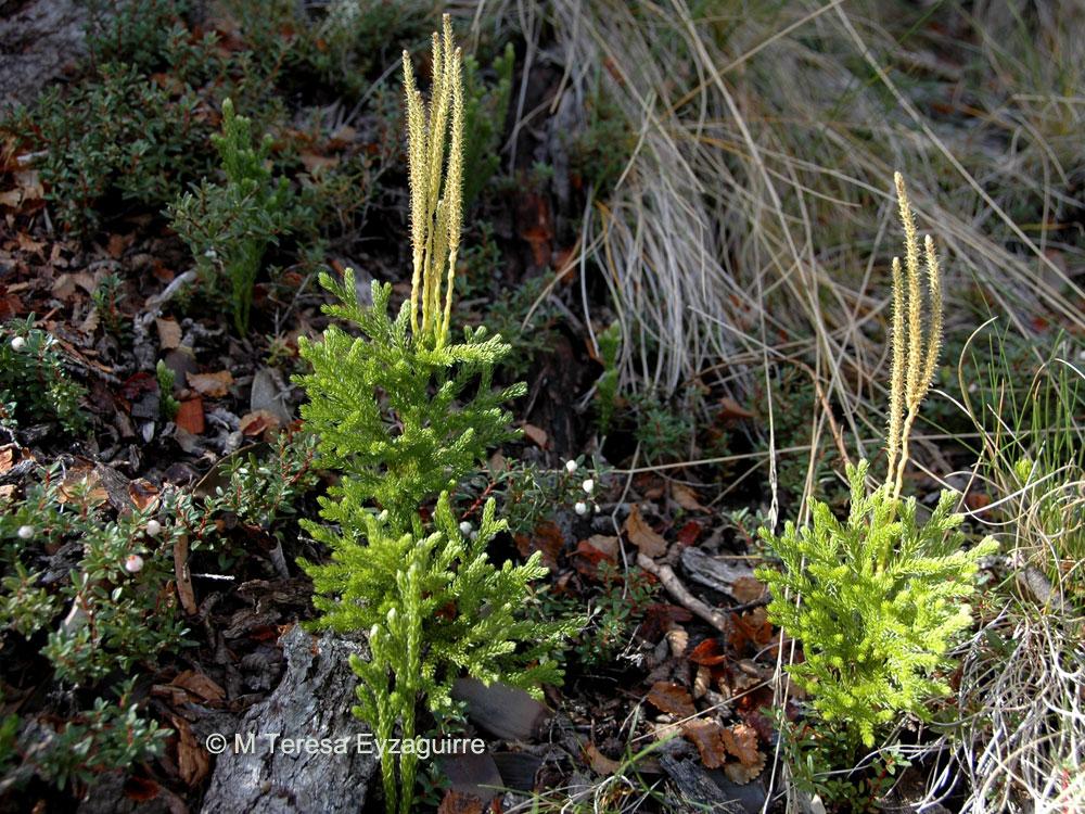 Lycopodium magellanicum var. erectum