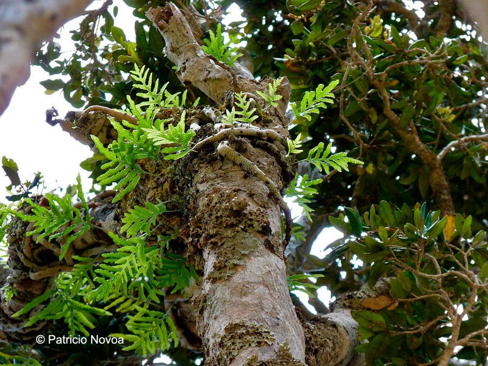 Polypodium intermedium ssp. masafueranum