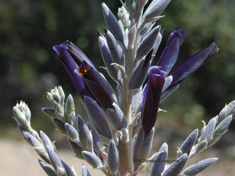 Puya coerulea var. intermedia
