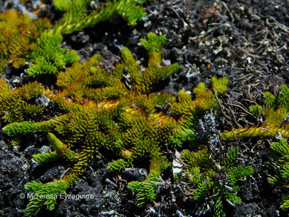 Lycopodium confertum