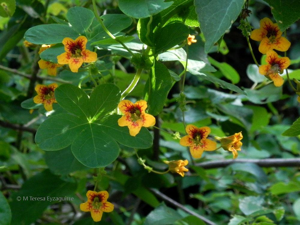 Tropaeolum ciliatum ssp ciliatum