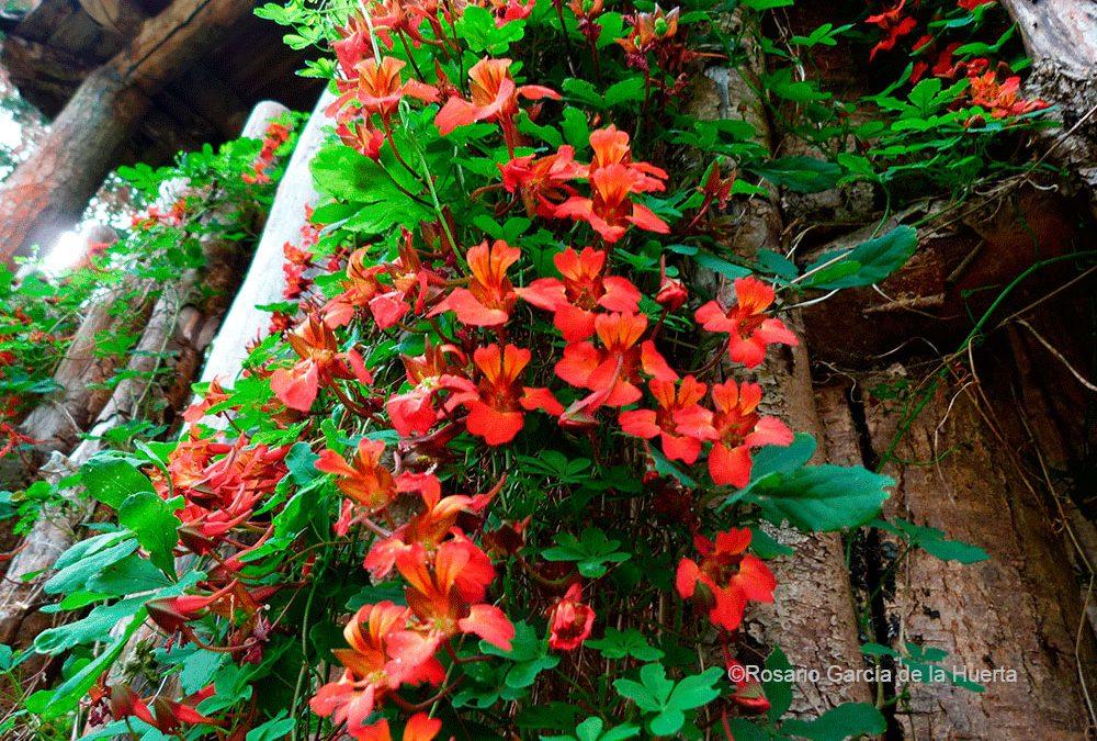 Hábito y flores. PN Tolhuaca, IX región
