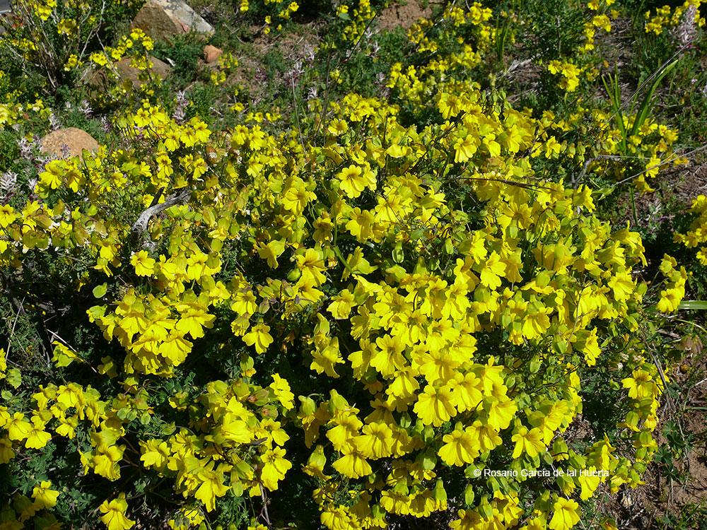 Tropaeolum hookerianum ssp. hookerianum
