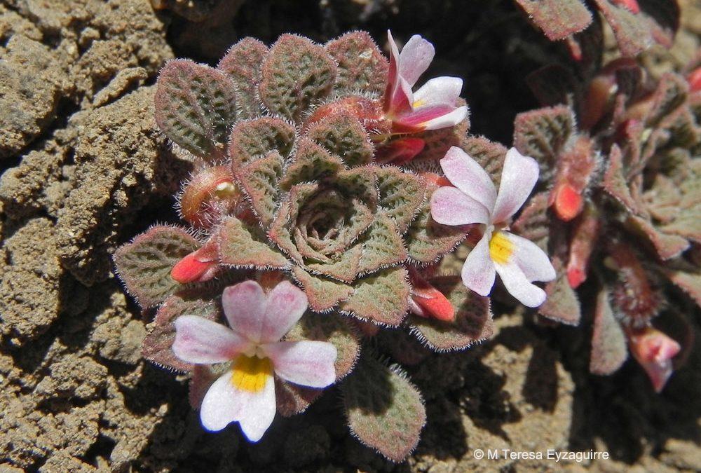 Ejemplar en flor. Valle Nevado, Región Metropolitana