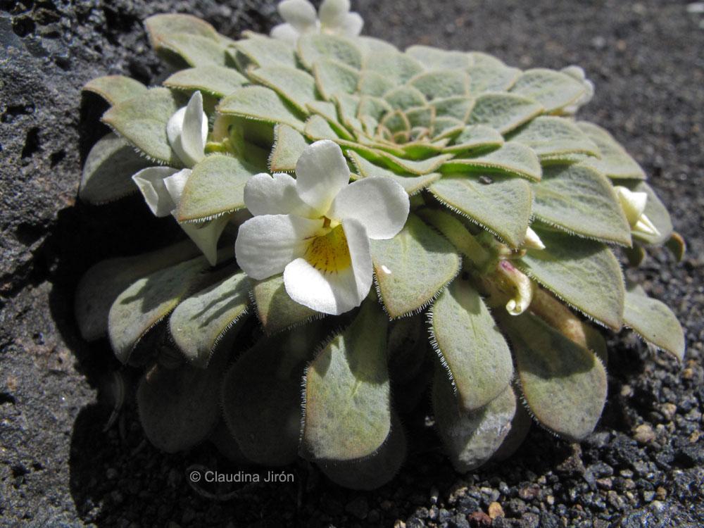 Viola rosulata